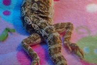 Bearded Dragon Care Bearded Dragon Lighting And Heating intended for sizing 884 X 1600