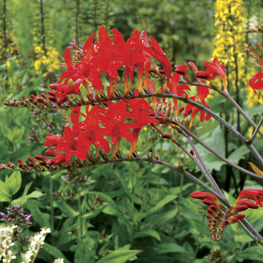 Crocosmia Lucifer At Wayside Gardens pertaining to sizing 900 X 900