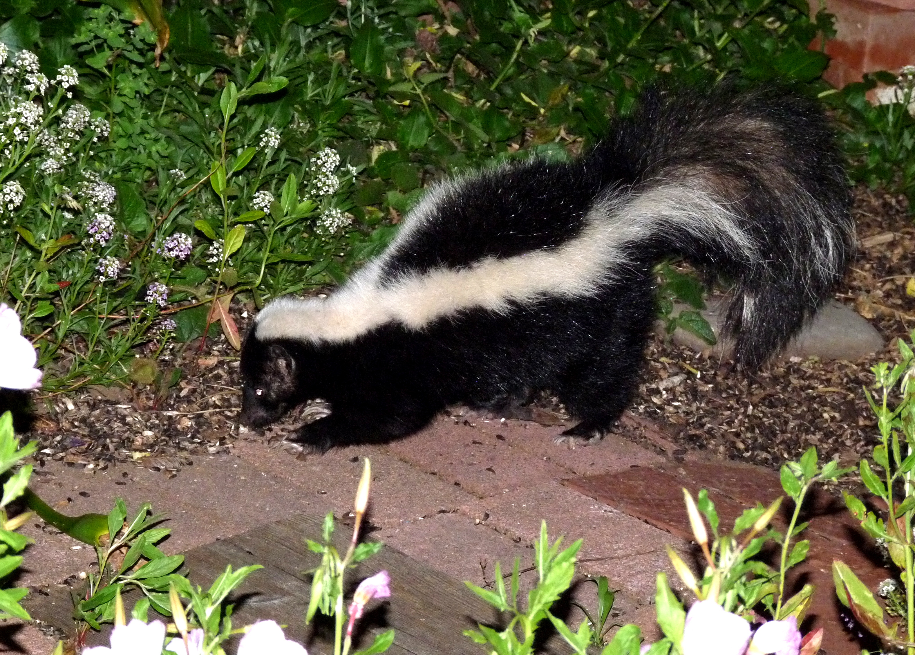 Skunk Removal Tips For Homeowners Effective Wildlife Solutions inside measurements 3154 X 2257